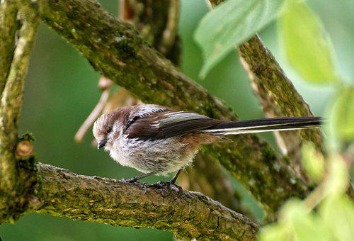 Long Tailed Tit, Little Bird, Nature, Cute, Plumage