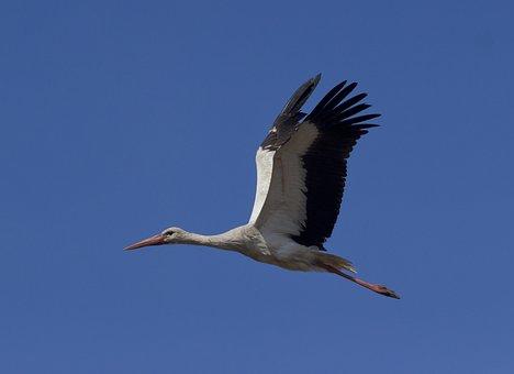 Stork, White Stork, Birds, Plumage, Elegant, Nature