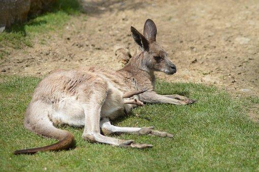 Animal, Wallaby, Kangaroo, Marsupial, Pocket, Zoo, Baby