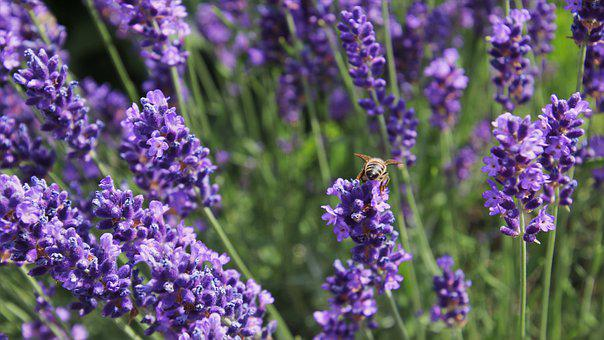 The Lavender Flower, Nectar, Bee, Pollination, Summer