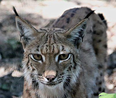 Feature, Beast, Feline, The Eurasian Lynx, Portrait