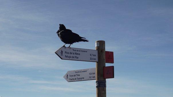 Raven, Crow, Bird, Animal, Directory, Black, Raven Bird
