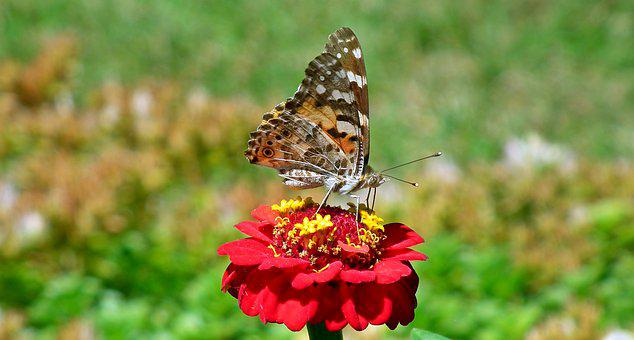 Butterfly, Insect, Flower, Red, Zinnia, Blooming