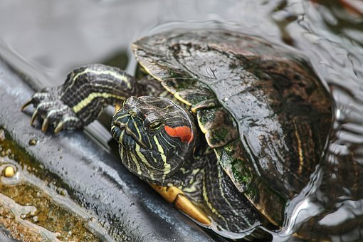 Turtle, Red-eared Slider, Trachemys Scripta Elegans
