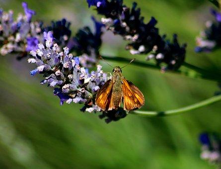 Small Skipper Butterfly, Skipper, Small, Butterfly