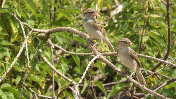 Sparrows On A Branch, Sparrow, House Sparrow