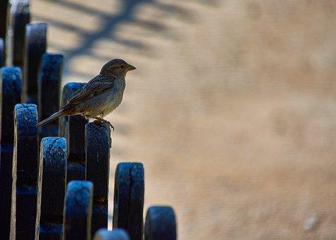 Sparrow, Bird, Plumage, Ave, Sparrows, Little Bird