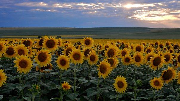 Sunflower, Sunset, Flowers, Nature, Sun, Clouds