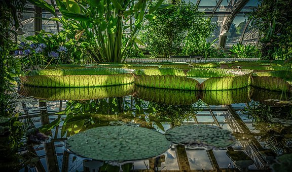 Large Water Lily, Nymphaea Gigantea, Tropical House