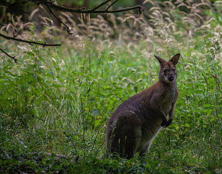 Wallaby, Wallaby On Lookout, Wallaby In Grass
