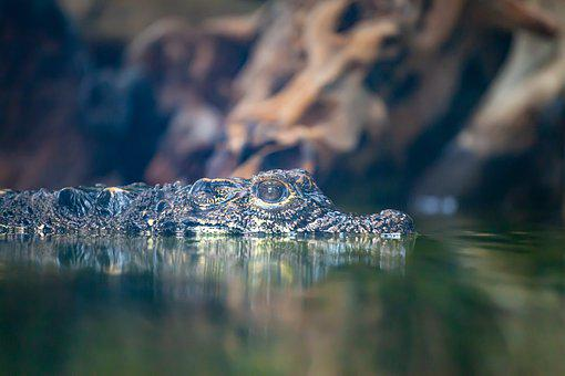 West African Dwarf Crocodile, Croc, Crocodile, Small