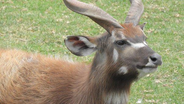 Sitatunga, African Antelope, The African Fauna