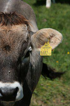 Cow, Cattle, Beef, Mountains, Alpine, Austria, Tyrol