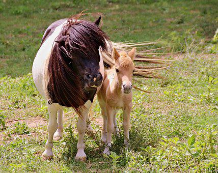 Ponies, A Pair Of, Mother, Foal, Female, Cub, Animals