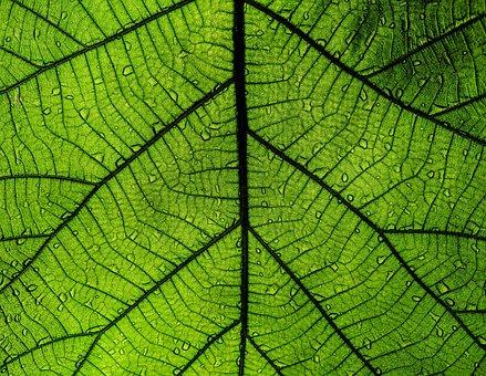 Leaf, Green Leaf, Big Leaf, Nature, Raindrop, Green