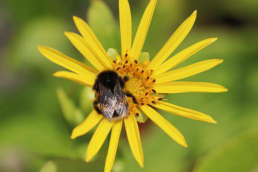Insect, Hummel, Blossom, Bloom, Stamens, Yellow