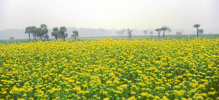 Mustard, Field, Yellow, Blossom, Nature, Agriculture