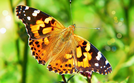 The Painted Lady, Butterfly Day, Insect, Antennae