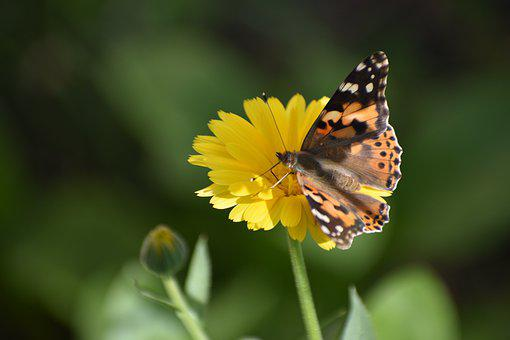 Butterfly, Flower, Calendula, Insect, Nature, Wing
