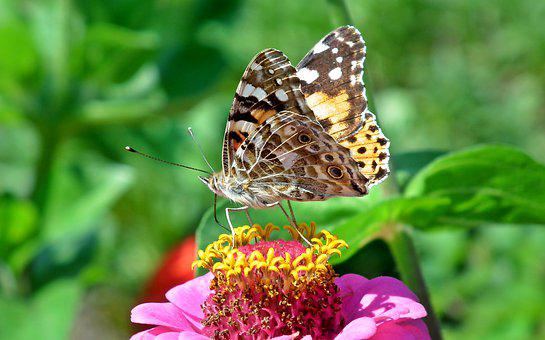 Butterfly, Insect, Flower, Macro, Summer, Nature