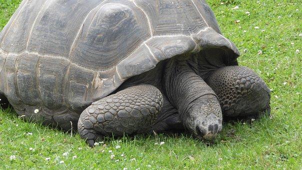 Grazing Tortoise, Tortoise, Celonoidis Nigra Porteri