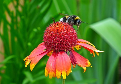 Flower, Colored, Bumblebee, Insect, Nature, Closeup