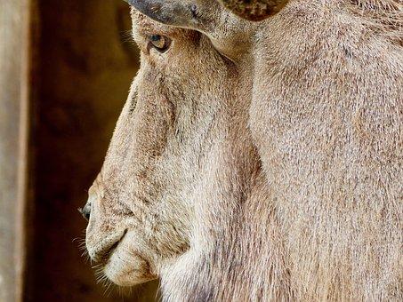 Goat Buck, Billy Goat, Detail, Close Up, Creature