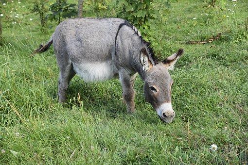Donkey, Donkey Miniature, Equine, Small Ass