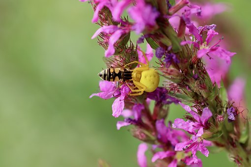Prey, Yellow Crab Spider, Yellow Spider, Dorsata