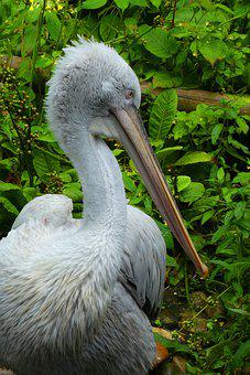 Pelican, Beak, Bird, Feathers, Wild, Large, Fauna, Zoo