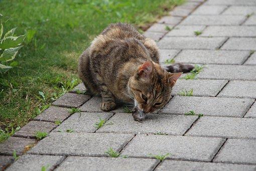 Cat, Animal, Mouse, Pet, Animal World, Tiger, Eat, Fur