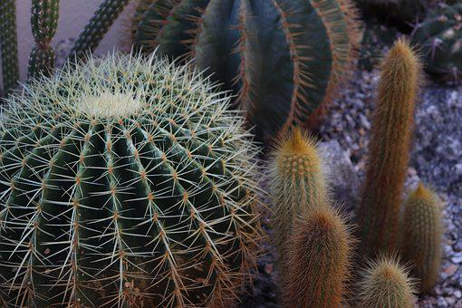 Cactus, Botany, Plant, Garden, Nature, Vegetation