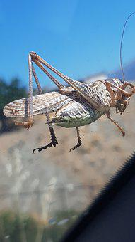 Grasshopper, Crete, Greece