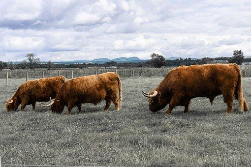 Highland Coo, Cow, Highland, Nature, Livestock, Hairy