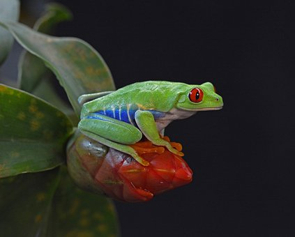 Frog, Red Eye, Amphibian, Colorful, Tropical, Happy