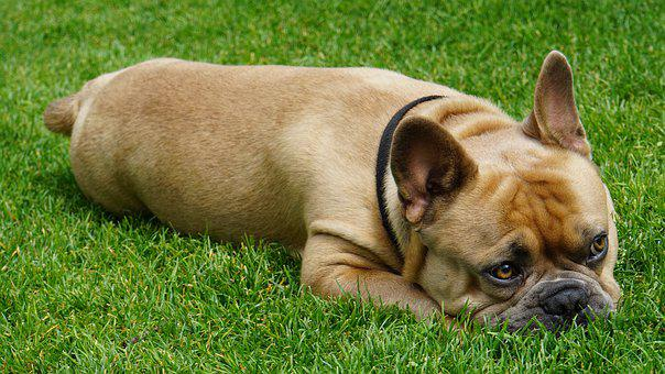 French Bulldog, Dog, Relaxed, Animal, Pet, In The Green