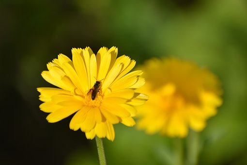 Flower, Calendula, Insect, Nature, Wing, Flora