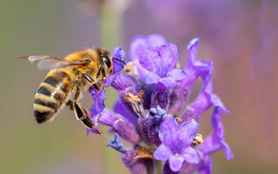 Bee, Honey Bee, Insect, Nature, Lavender Blossom