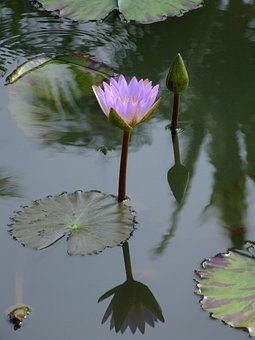 Lilly, Water Lilly, Flower, Nature, Bloom, Water, Pond
