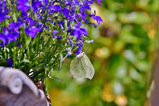 Butterfly, Cabbage White, Bug, Wings, Lobelia, Plant