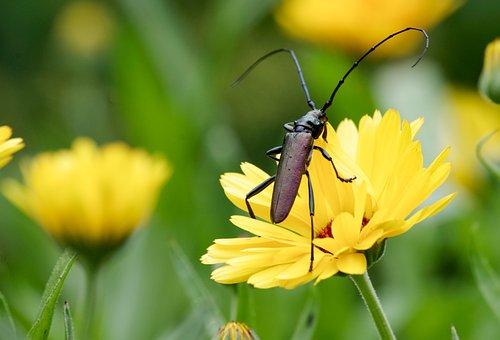 Musk Beetle, Beetle, Longhorn Beetle, Probe, Insect