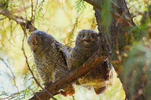 Owl, Oriental Scops Owl, Tree, Green, Natural, Leaf
