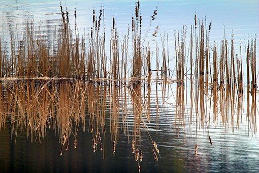 Reeds, Lake, Overgrown, Reflection