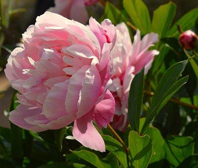 Peony, Flower, Blossom, Bloom, Flora, Ornamental Plant