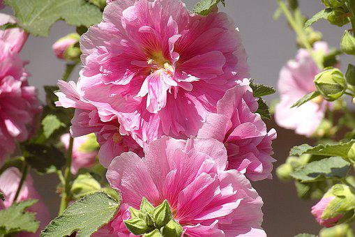 Mallow, Malva, Flower, Pink, Bar, Stamen, Petals