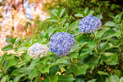 Hydrangea, Flower, Plant, Bloom, Nature, Blue, Garden
