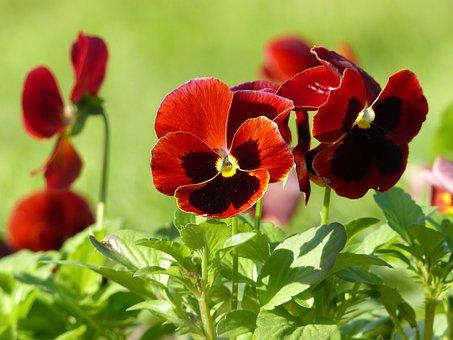 Pansies, Flowers, Plant, Violet, Purple, Decorative