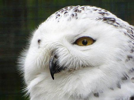 Snowy Owl, Animal, Nature, Raptor, Feather