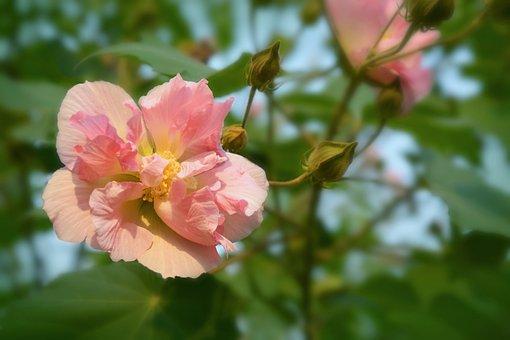 Sanchanghua, Mubiscus, Pure, Pink Flowers, Hibiscus