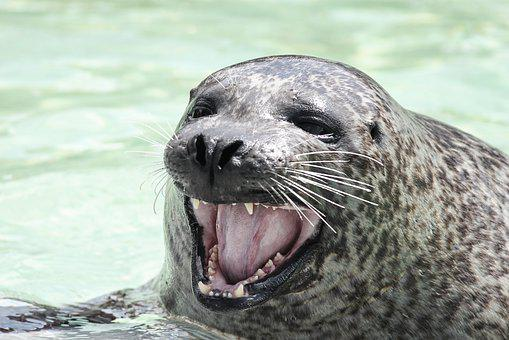 Seal, Robbe, Snout, Foot, Tooth, Open, Moustache